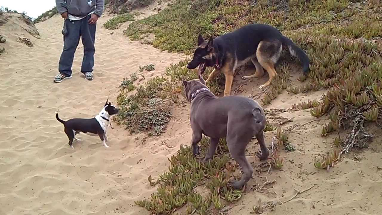 GERMAN SHEPHERD & PIT BULL FIGHT AT SF BEACH - YouTube