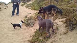 German Shepherd & Pit Bull Fight At Sf Beach