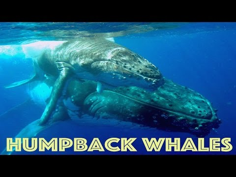 GoPro: Diving With Humpback Whales HD★★★★★