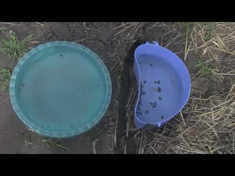 Помощь в борьбе с олёнка мохнатая (цветоед)
