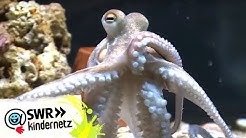 OLI bei den Kraken: Maskenball unter Wasser | OLI's Wilde Welt | SWR Kindernetz