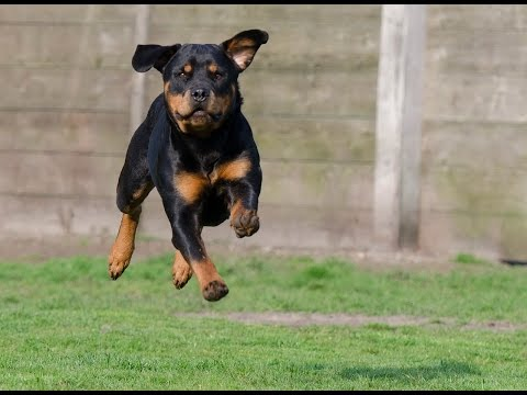 How To Train a Rottweiler - The Proper Way!