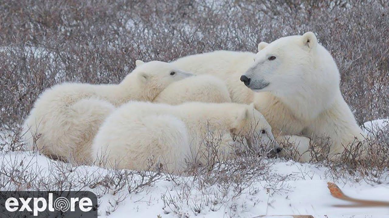 Polar Bear Facts & Information - Polar Bears International