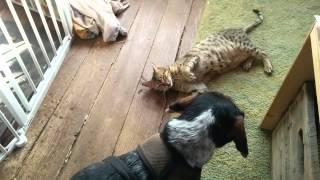 Beagle And Mau