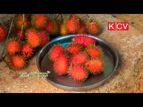 Rambutan cultivation KCV Pachamannu 3