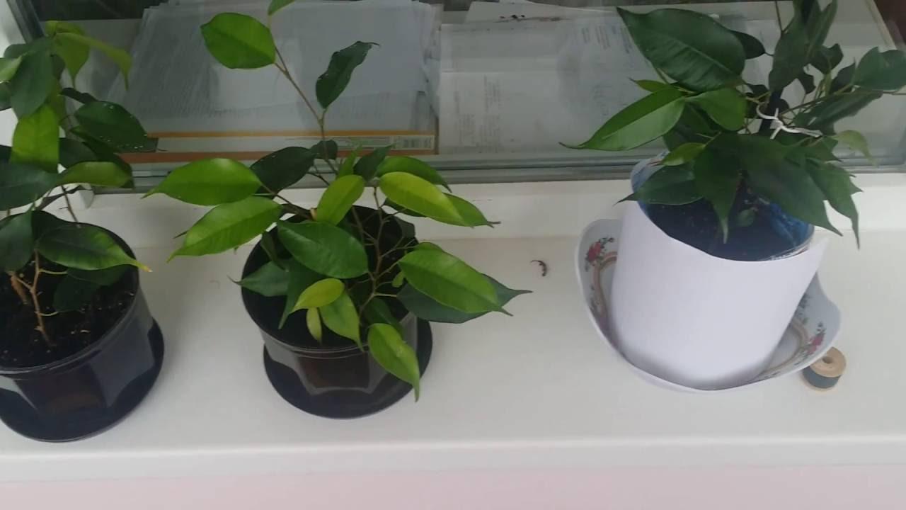 Фикусы уход в домашних условиях фото размножение