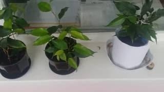 Фото как размножить фикус  Размножение фикуса в домашних условиях