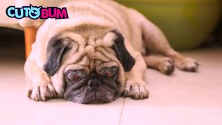 Awesome Cute Pug Dog Funny Mannerisms, Fall in Love With Pug