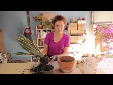 Repotting a Snake Plant : Gardening With Flowers & Succulents