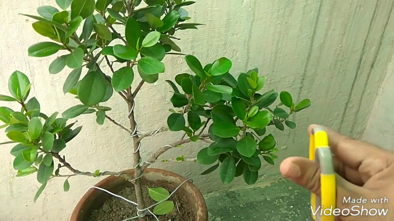 How To Pinch Ficus Bonsai And How To Wire Thik Branch Youtube