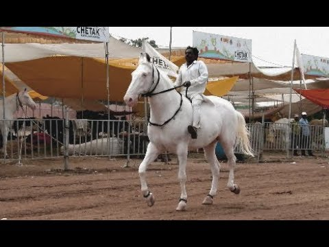 is the most popular Padma Horse price 2 crore Sarangkheda 2017