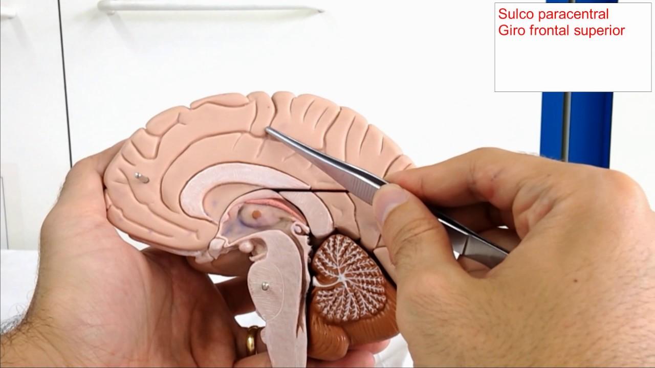 Neuroanatomia _ Telencéfalo _ Vista medial _ Aula Prática