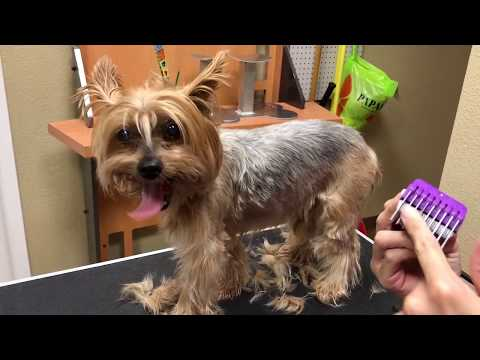 JoJo Yorkie Groom knots on body