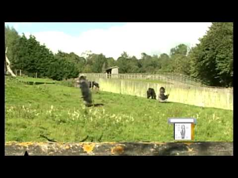 Gorilla Walks Upright