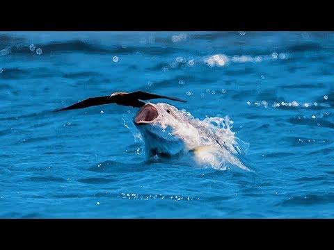 Un poisson gobe un oiseau en plein vol - ZAPPING SAUVAGE