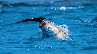 Download Un poisson gobe un oiseau en plein vol - ZAPPING SAUVAGE Mp3 and Videos