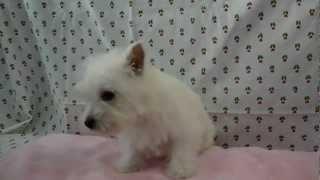 ブリーダー直販ドッグリアン東京で子犬販売。詳細はhttp://dog-lien.com...