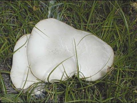 Белый степной гриб, королевская вешенка