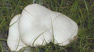 Белый степной гриб, королевская вешенка(Охотничий и рыболовный сезон закрылся. В поисках новых приключений, любителям туризма, ничего не остается,..., 2015-12-15T10:21:16.000Z)