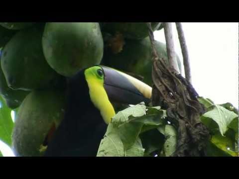 Costa Rica TOUCAN الطوقان طائر टूकेन 巨嘴鳥 тукан