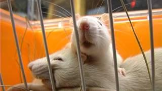 Как выбрать крысу . Все О Домашних Животных