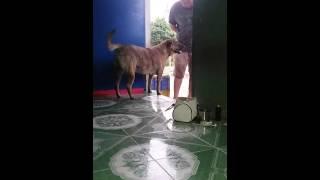 Con chó nói chuyện khi thấy chủ đi làm về