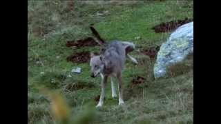 Meet the Wolf - Il Lupo italiano (canis lupus italicus)