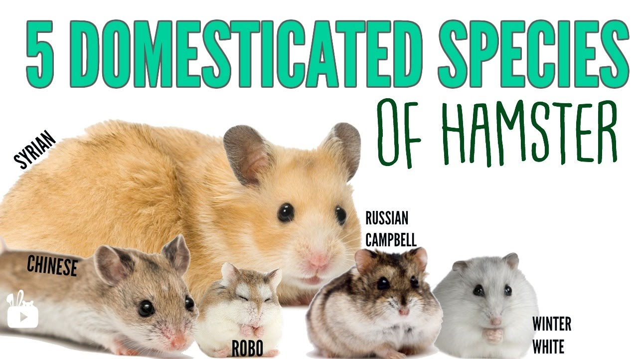 The 5 Domesticated Species Of Hamsters Youtube