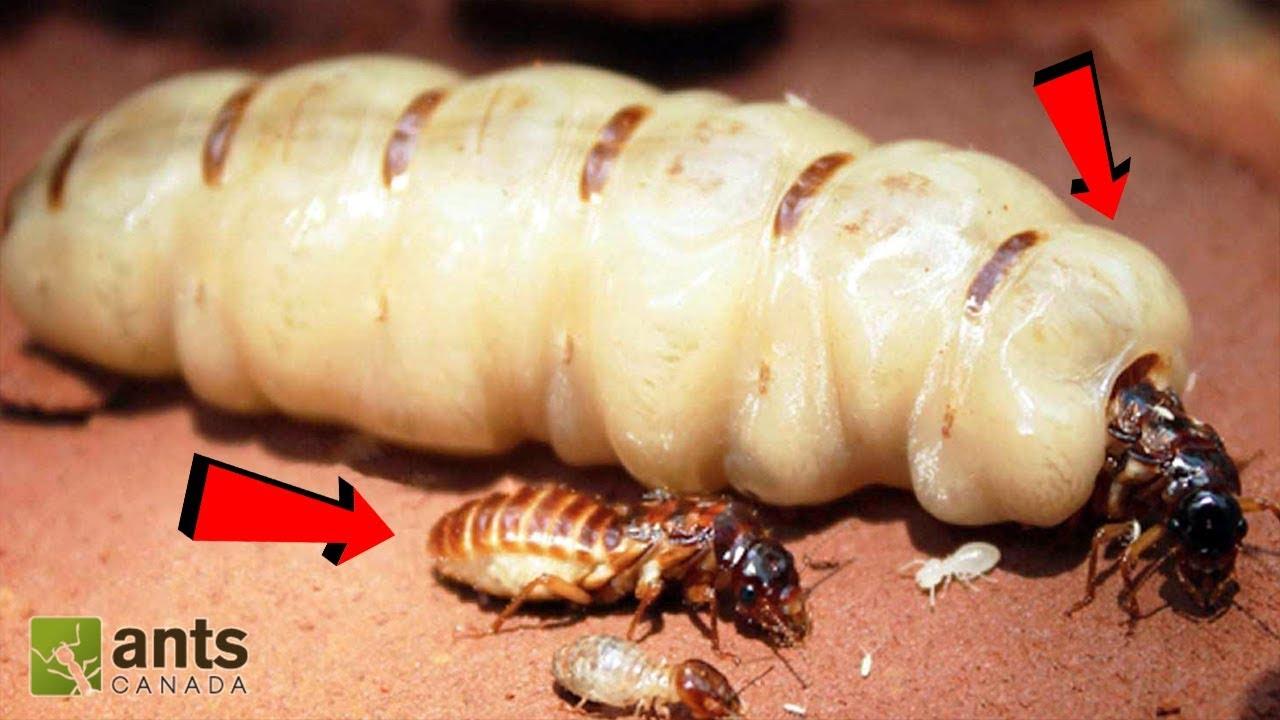 ANTS vs. TERMITES!