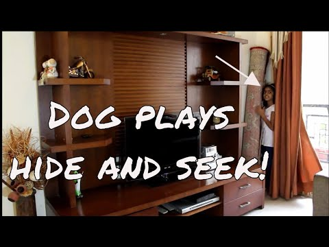 Dog playing hide and seek with little girl – Smart large dog breeds – Golden retriever – Dog games