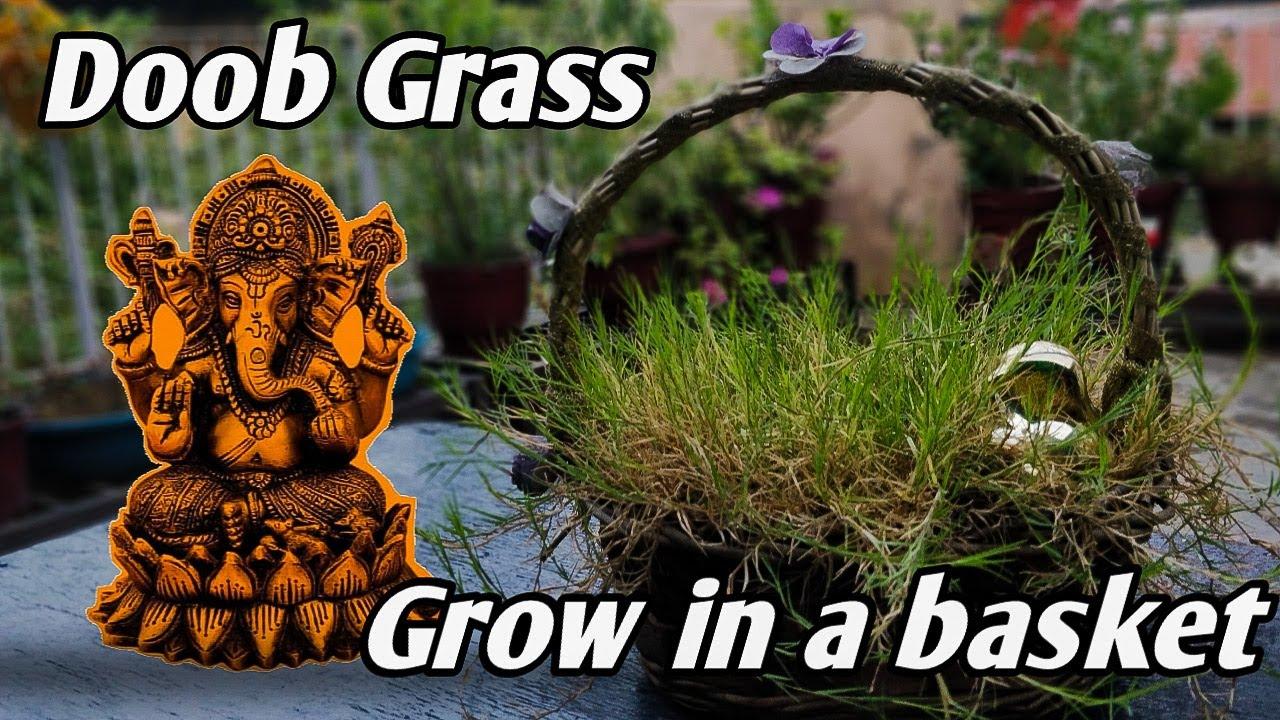 घर में दूब/दूर्वा घास कैसे लगाए। मुफ्त में |Grow THE magical DURVA/DOOB grass at home |