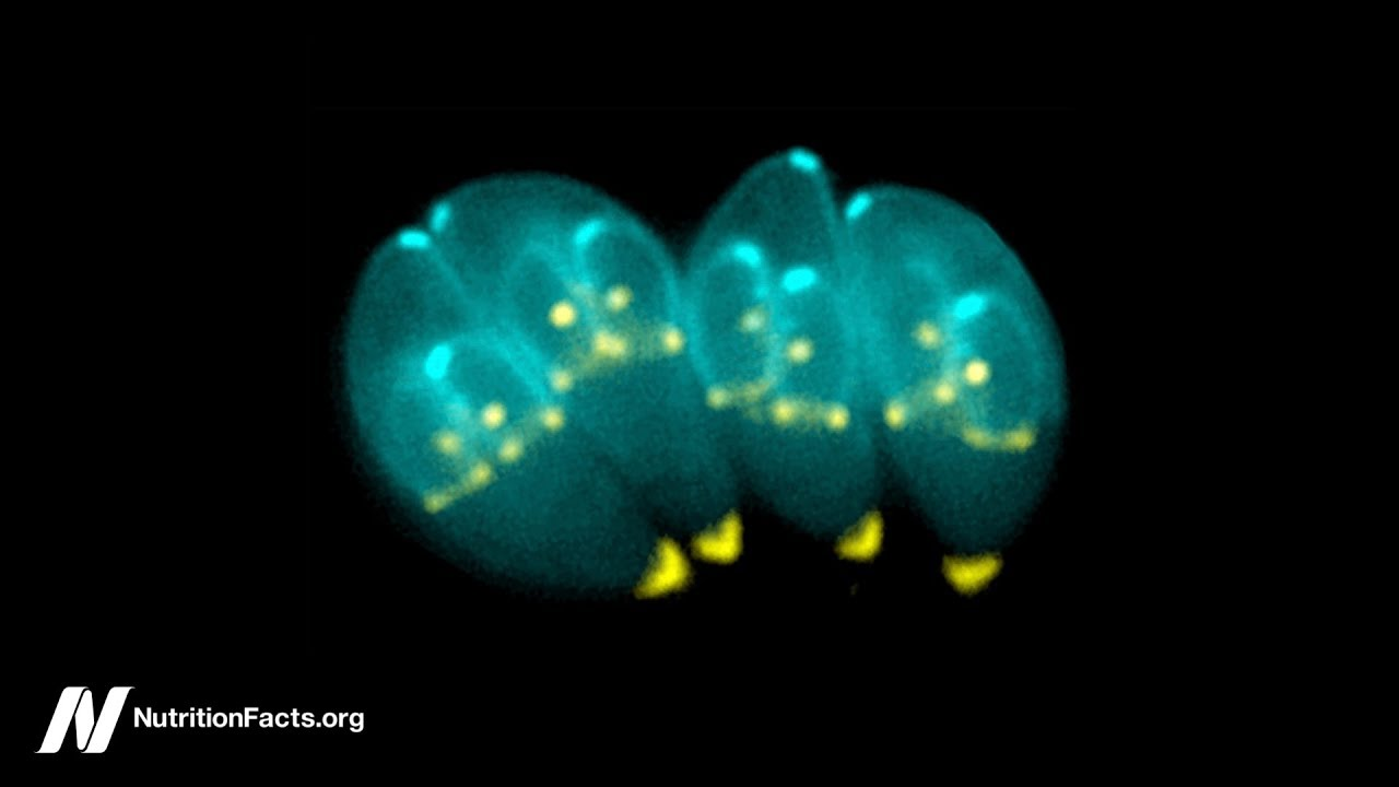 Toxoplasma — The Most Successful Parasite in the world… do
