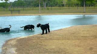 Giant Schnauzer Puppy Trying Make Friends At Houston Dogpark