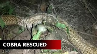 Odisha: A 5-ft long Indian cobra trapped in a fishing net rescued