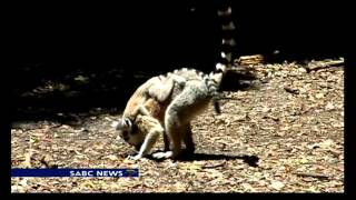 Video Monkey twins an extremely rare occurrence download MP3, 3GP, MP4, WEBM, AVI, FLV Juli 2018