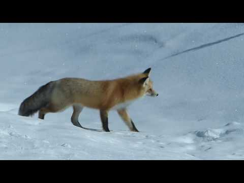 The Stalk & Pounce - A Yellowstone Fox in Action
