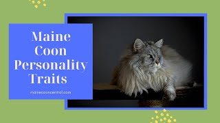 Maine Coon Cats 101: Personality Facts