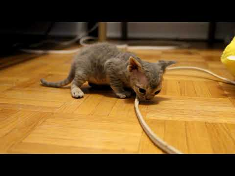 Devons Amour - Devon Rex kittens