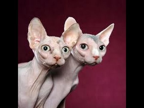 Summerlin-Las Vegas Pet Sitting SuperStar Pet Services presents Sphinx cats Xander & Jasmine