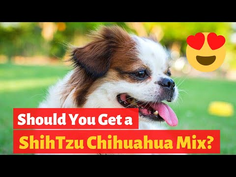 Interesting Facts about the Adorable Shih Tzu Chihuahua Mix (Shichi) | Should you get one?