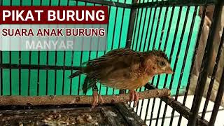 Suara Anak Burung | Pikat & Pancingan Paling Ampuh Untuk Burung Kecil Dewasa