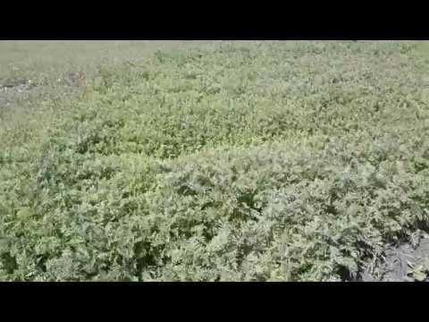 Влияние гербицидов на рост фацелии