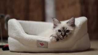 Священнаая Бирма, породистые котята (питомник кошек marikota.com)