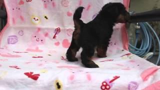 関西ウェルシュテリア子犬販売ページ→ http://www.at-breeder.net/welsh...