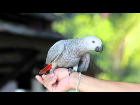 Вопрос: Попугаи какаду. Какие имеются интересные сведения о попугаях какаду?