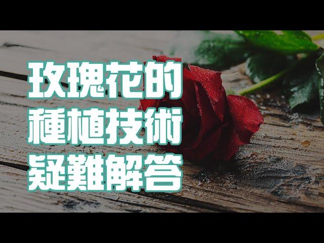 玫瑰花的種植技術疑難解答