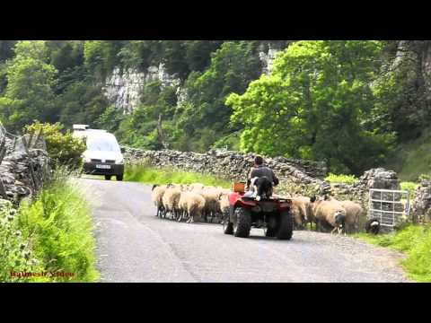 Sheep in the Road, Swaledale. - Two Dogs and a Quad.