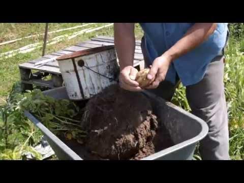 Картошка в мешках: сравнение урожая с грядками