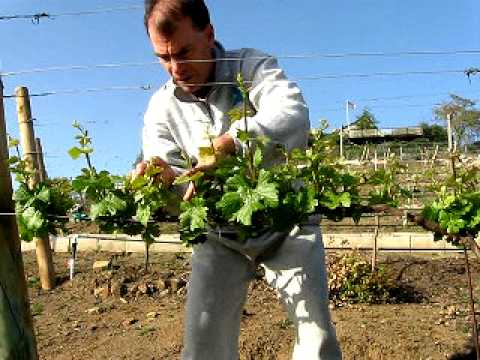 Thinning new shoots of young grapevines in the vineyard youtube - How to prune and train the grapevine ...