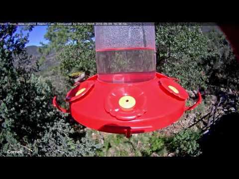 Female Ruby-throated Hummingbird Visits the West Texas Hummingbird Feeder